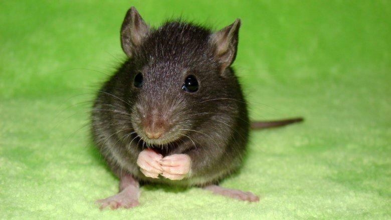 Какие витамины давать декоративной крысе
