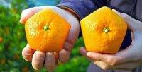 Японские пятиугольные апельсины