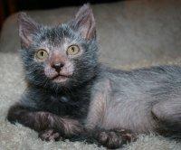 Порода кошек ликой: ваши кошмары станут явью