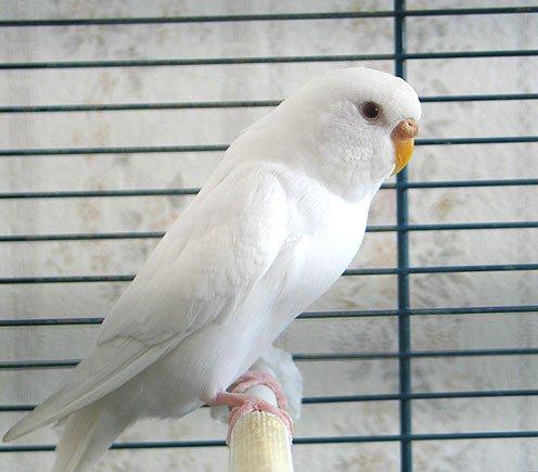Какую клетку для волнистого попугая выбрать