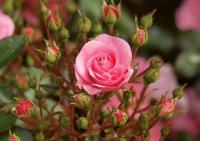 Как обрезать розы весной