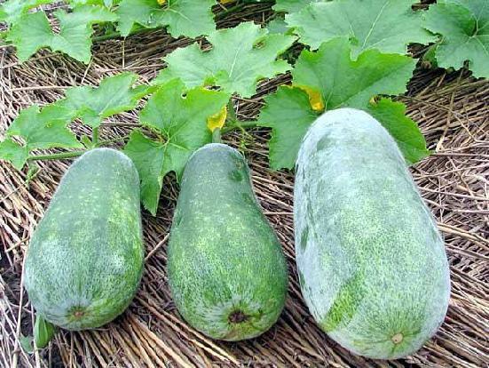 Бенинказа: выращивание восковой тыквы