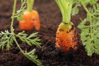 Выращивание моркови: как бороться с морковной мухой