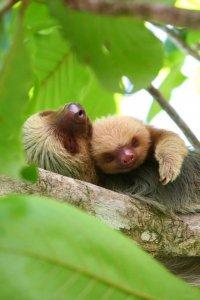 Ленивые спящие ленивцы