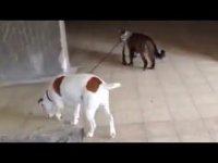 Кот выгуливает собаку
