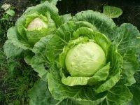 Два урожая капусты в год? Это реально!