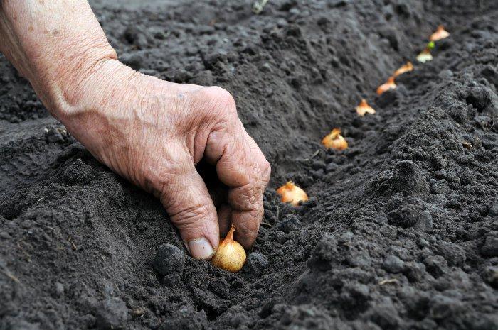 Как сажать лук