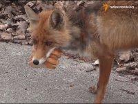 Лисица, которая сама себе делает бутерброд