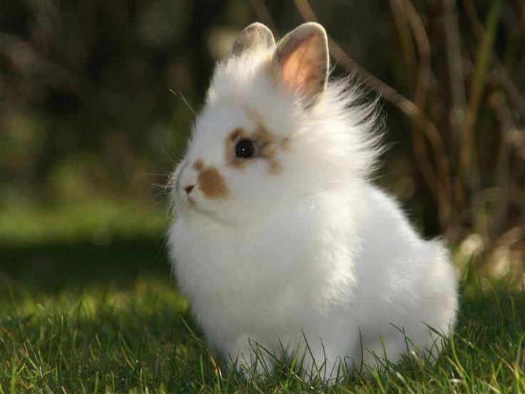 Карликовые кролики львиная головка (львиноголовый)