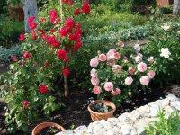 Где посадить розы на даче