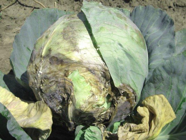 Черные листья у капусты: сосудистый бактериоз