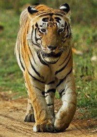 Что необычного в этом тигре?
