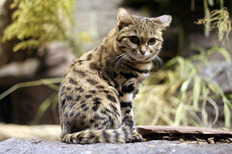Черноногая кошка (Felis nigripes)