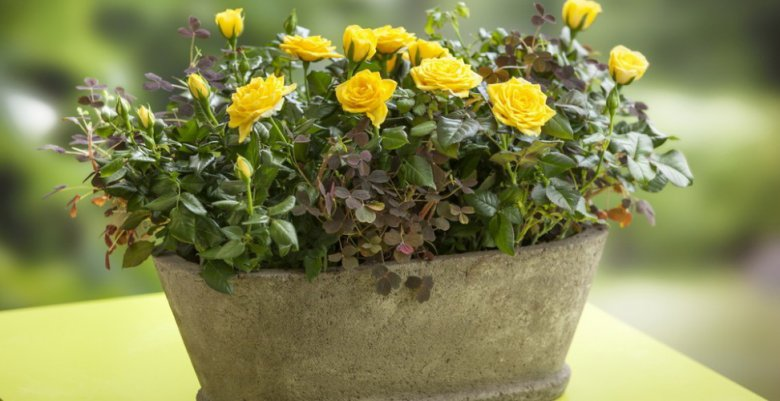 Как адаптировать комнатные розы