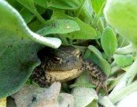 Польза от жаб в саду
